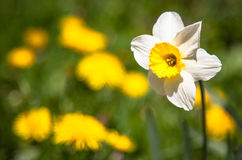 Narciso branco Imagem de Stock Royalty Free