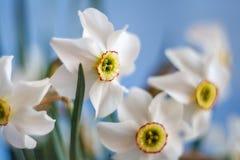 Narciso branco bonito com fundo do céu azul Imagem de Stock Royalty Free