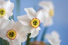 Narciso branco bonito com fundo do céu azul Imagens de Stock