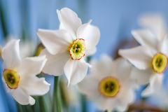 Narciso branco bonito com fundo do céu azul Imagens de Stock Royalty Free