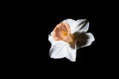 Narciso branco contra um fundo preto Foto de Stock