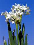 Narciso branco de papel Imagem de Stock Royalty Free