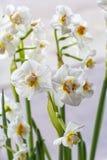 Narciso branco macio na flor no branco foto de stock royalty free