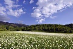 Narciso branco no campo foto de stock royalty free