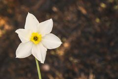 Narciso branco no fundo da grama chamuscada A batalha para a vida, ecologia Imagens de Stock Royalty Free