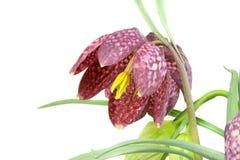 Narciso Checkered Foto de archivo libre de regalías