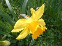 Narciso con poca mosca Immagine Stock