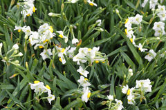 Narciso con rocío Fotos de archivo libres de regalías