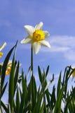 Narciso contra el cielo azul foto de archivo