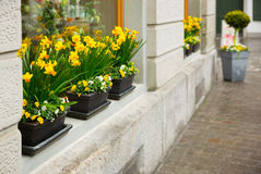 Narciso da flor nas janelas Imagens de Stock