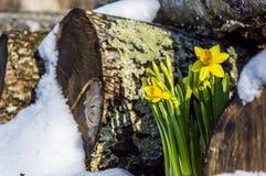 Narciso da mola em um Woodpile nevado Foto de Stock