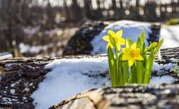 Narciso da mola em um Woodpile nevado Imagens de Stock