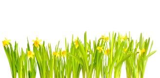 Narciso/Daffodil su priorità bassa bianca Fotografia Stock Libera da Diritti