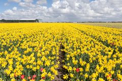 Narciso de florescência em um dia ensolarado na primavera holandesa nos campos com algumas tulipas vermelhas fotos de stock royalty free
