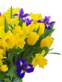 Narciso de la primavera Fotos de archivo libres de regalías