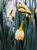 Narciso de Tazetta que brilla intensamente imagenes de archivo