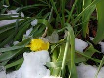Narciso debajo del hielo y de la nieve, nevadas de la primavera Fotos de archivo