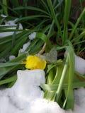 Narciso debajo del hielo y de la nieve, nevadas de la primavera Fotos de archivo libres de regalías