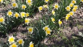 Narciso dei narcisi che fiorisce nel sole di primavera stock footage