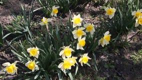 Narciso dei narcisi che fiorisce nel sole di primavera video d archivio
