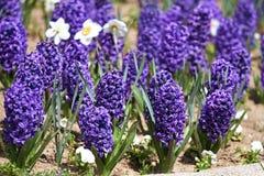 Narciso del narciso e del giacinto Il campo della molla variopinta fiorisce il giacinto su luce solare Reticolo floreale Phot di  Fotografie Stock Libere da Diritti