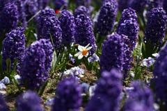 Narciso del narciso e del giacinto Il campo della molla variopinta fiorisce il giacinto su luce solare Reticolo floreale Phot di  Immagine Stock