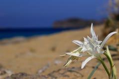 Narciso del mar Imagenes de archivo