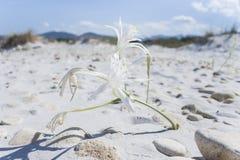 Narciso del mar San Teodoro (Cerdeña - Italia) imagen de archivo libre de regalías
