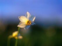 Narciso del resorte en la luz caliente de la puesta del sol. Fotografía de archivo