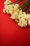 Narciso di Erlicheer o fiori del narciso colorati bianco Immagini Stock Libere da Diritti