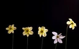 Narciso di fondo nero Fotografia Stock