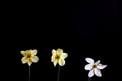 Narciso di fondo nero Fotografia Stock Libera da Diritti