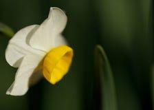 Narciso di inverno Fotografie Stock