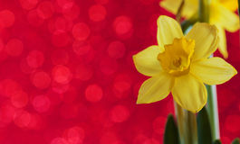 Narciso di Yelow Fotografia Stock