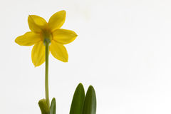Narciso di Yelow Fotografia Stock Libera da Diritti