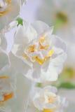 Narciso doble (narcisos) Fotos de archivo libres de regalías