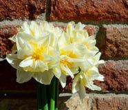 Narciso doble Narcissus White y amarillo en fondo de la pared de ladrillo fotos de archivo