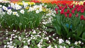 Narciso e tulipas em Keukenhof Fotos de Stock