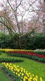 Narciso e tulipas vermelhas e amarelas na frente de uma árvore cor-de-rosa de florescência Fotos de Stock Royalty Free