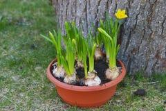 Narciso en el envase Fotos de archivo libres de regalías