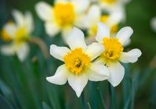 Narciso en el jardín Fotos de archivo libres de regalías