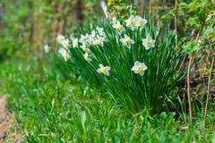 Narciso en jardín en la primavera Fotos de archivo