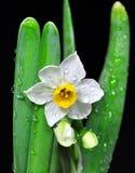 Narciso en negro foto de archivo libre de regalías
