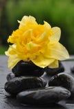 Narciso en piedras Fotos de archivo