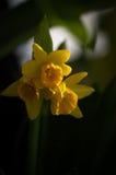Narciso en puesta del sol Fotos de archivo libres de regalías