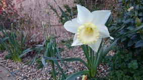 Narciso en un jardín Foto de archivo