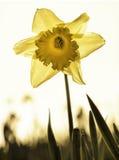 Narciso encendido parte posterior en campo Fotos de archivo libres de regalías