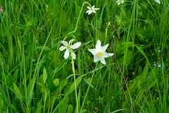 Narciso - estrela da flor branca foto de stock