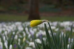 Narciso fechado Imagens de Stock Royalty Free