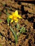 Narciso florecido en el jardín Imagen de archivo libre de regalías